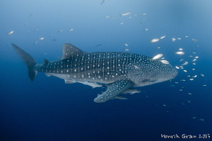 Whale Shark, Papua by Henrik Gram Rasmussen 